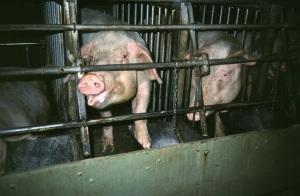 Factory pig