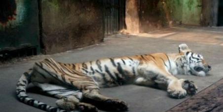 Tiger ill