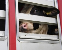 Transport-cows-