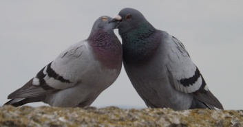Lyme-Regis-pigeon-pair-April-2015-1-600-px-tiny-June-2015-Darren-Naish-Tetrapod-Zoology